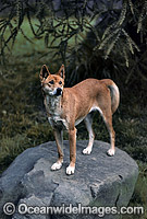 Dingo Canus dingo Photo - Gary Bell