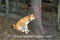 Australian Dingo Canus dingo Photo - Gary Bell