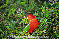 Australian King Parrot Alisterus scapularis Photo - Gary Bell