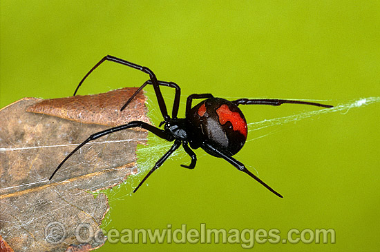 how to stop red back spiders