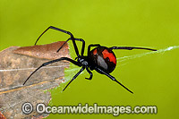Red-back Spider Latrodectus hasselti  Photo - Gary Bell