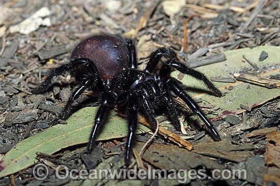 Sydney Funnel-web Spider Atrax robustus Stock Photo