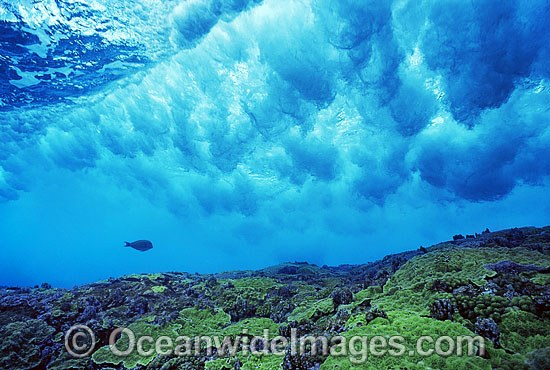 A single Surgeonfish beneath a breaking wave over Coral reef. Great Barrier Reef, Queensland, Australia.