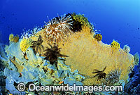 Gorgonian Fan Coral and Feather Stars photo