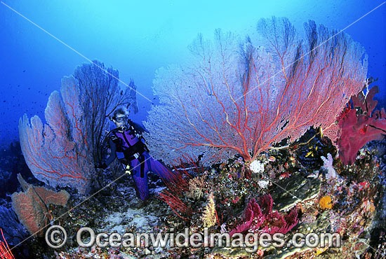 Scuba Diver exploring huge Gorgonian Fan Corals. Great Barrier Reef, Queensland, Australia
