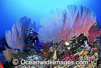 Scuba Diver and Gorgonian Corals photo