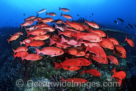 Schooling Pinjalo Snapper (Pinjalo lewisi). Indo-Pacific
