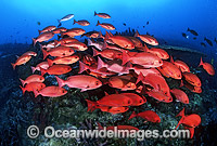 Schooling Pinjalo Snapper Pinjalo lewisi Photo - Gary Bell