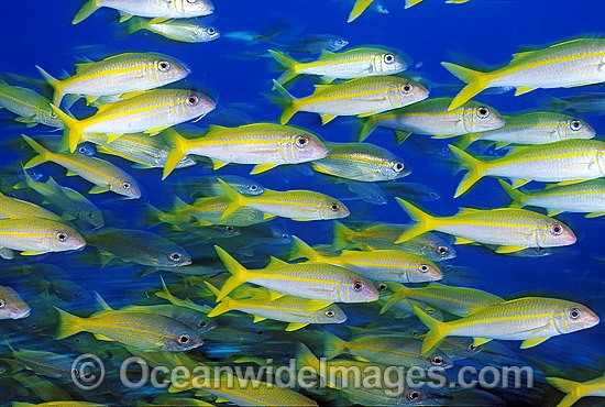 Schooling Yellow-striped Goatfish (Mulloidichthys vanicolensis) and Blue-striped Snapper (Lutjanus kasmira). Great Barrier Reef, Queensland, Australia
