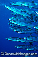 Schooling Chevron Barracuda Sphyraena qenie photo