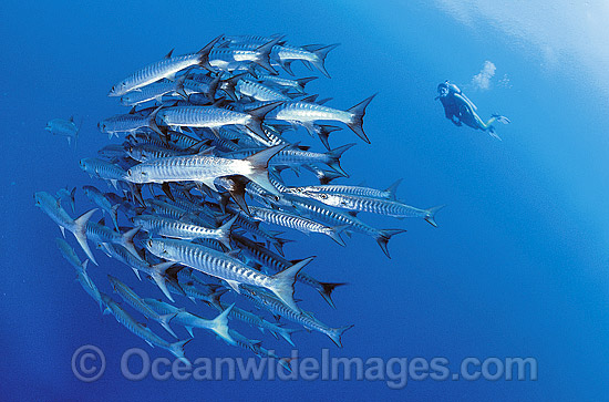 Scuba Diver observing schooling Chevron Barracuda (Sphyraena qenie). Great Barrier Reef, Queensland, Australia
