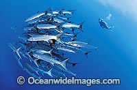 Scuba Diver schooling Chevron Barracuda photo