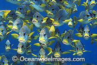 Schooling Diagonal-banded Sweetlips photo