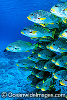 Diagonal-banded Sweetlips Plectorhinchus lineatus Photo - Gary Bell