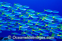 Schooling Yellow-backed Fusilier Caesio xanthonota photo