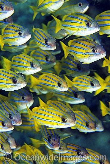 Schooling Blue-striped Snapper (Lutjanus kasmira). Great Barrier Reef, Queensland, Australia