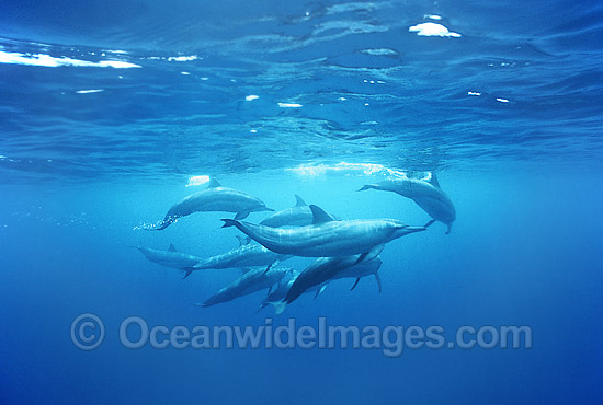 Pod of Spinner Dolphin (Stenella longirostris). Also known as Long-Snouted Spinner Dolphin. Coral Sea, Queensland, Australia