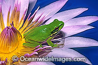 Eastern Dwarf Tree Frog on waterlily flower image
