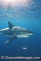 Great White Shark surrounded by Pilot Fish