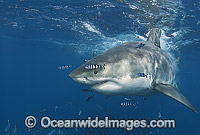 Great White Shark with Pilot Fish Photo - Chris & Monique Fallows