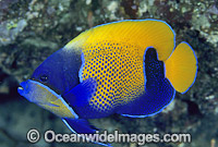 Blue-girdled Angelfish Pomacanthus navarchus Photo - Gary Bell