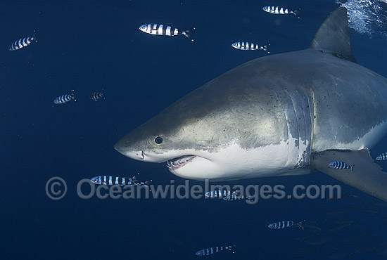 Great White Shark (Carcharodon carcharias) surrounded by Pilot Fish (Naucrates ductor). Also known as White Pointer and White Death. Guadalupe Island, Baja, Mexico, Pacific Ocean. Listed as Vulnerable Species on the IUCN Red List. Photo - Chris & Monique Fallows