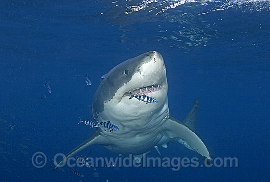 Great white shark pilot fish stock photo 38m2659 fabric for Great white shark fishing
