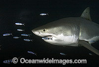 Great White Shark with Pilot Fish image