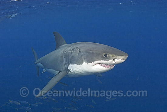 Great White Shark (Carcharodon carcharias) underwater. Also known as White Pointer and White Death. Guadalupe Island, Baja, Mexico, Pacific Ocean. Listed as Vulnerable Species on the IUCN Red List. Photo - Chris & Monique Fallows