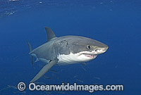 Great White Shark Carcharodon carcharias Photo - Chris & Monique Fallows