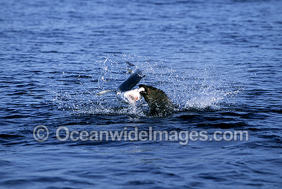 Rare pictures of a bull Cape Fur Seal (Arctocephalus pusillus pusillus) predating on a Blue Shark (Prionace glauca). This behaviour has never before been documented. Off False Bay, South Africa. Sequence - 1a
