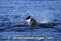 Bull Seal attacking Blue Shark Photo - Chris & Monique Fallows