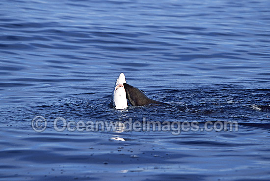 Rare pictures of a bull Cape Fur Seal (Arctocephalus pusillus pusillus) predating on a Blue Shark (Prionace glauca). This behaviour has never before been documented. Off False Bay, South Africa. Sequence - 1b