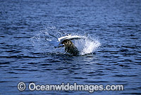 Seal attacking Blue Shark Photo - Chris & Monique Fallows
