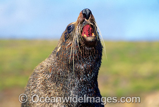 New Zealand Fur Seal (Arctocephalus forsteri) - bull. Neptune Islands, South Australia. Listed as Low Risk on the IUCN Red List.