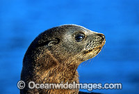 New Zealand Fur Seal pup Photo - Gary Bell