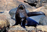 New Zealand Fur Seal bull Photo - Gary Bell
