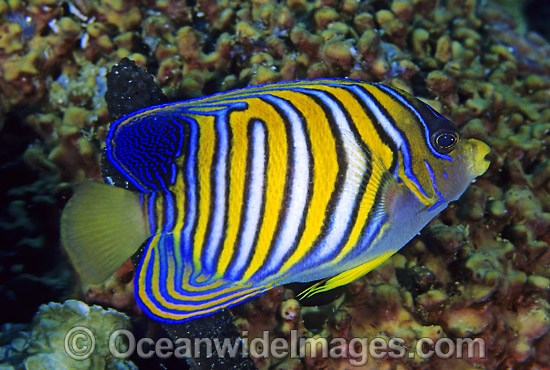 Regal Angelfish (Pygoplites diacanthus). Great Barrier Reef, Queensland, Australia