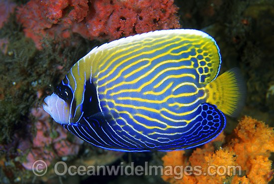 Adolescent Emperor Angelfish (Pomacanthus imperator). Great Barrier Reef, Queensland, Australia