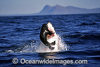 Great White Shark breaching on Cape Fur Seal Photo - Chris & Monique Fallows