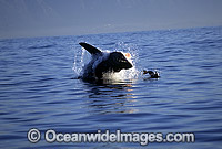 Great White Shark breaching on Seal Photo - Chris & Monique Fallows