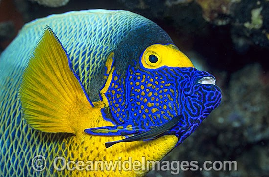 Yellowmask Angelfish Pomacanthus xanthometopon photo