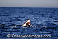 Great White Shark attacking Cape Fur Seal Photo - Chris & Monique Fallows