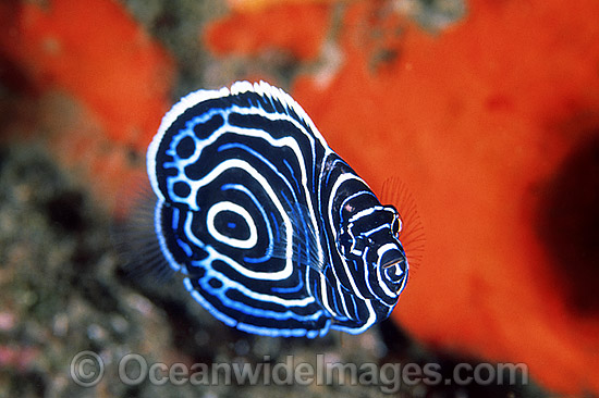 Juvenile Emperor Angelfish (Pomacanthus imperator). Great Barrier Reef, Queensland, Australia Photo - Gary Bell