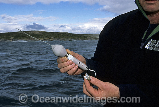 C.S.I.R.O. satelite transmitting device used for tracking Great White Sharks (Carcharodon carcharias). Device is attached to Shark. Australia Photo - Gary Bell