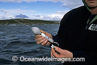 CSIRO satelite transmitting device tracking Great White Sharks photo