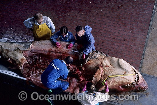 C.S.I.R.O. Shark scientist, Barry Bruce, and assistants inspect stomach contents and reproductive organs of a large female Great White Shark (Carcharodon carcharias) caught off South Australia. Photo - Gary Bell