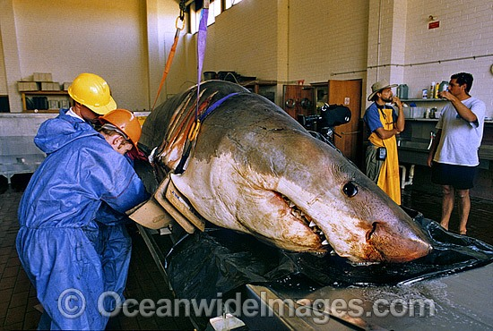 Scientists examine a large female Great White Shark (Carcharodon carcharias) caught off South Australia. Photo - Gary Bell
