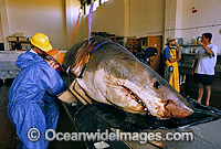 Scientists examine a large Great White Shark