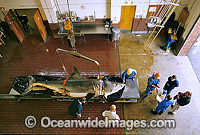Scientists examine a large Great White Shark Photo - Gary Bell